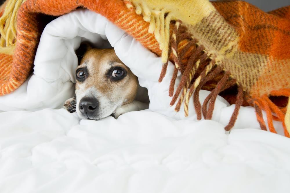 hund-som-ar-radd