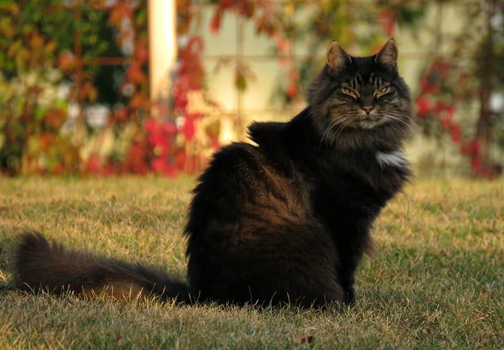 sittande-katt-utomhus